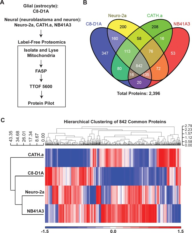Generation of a mouse brain mitochondrial super-SILAC mix. (A) Label-free proteomics of isolated mitochondria from four mouse cell lines was performed after FASP processing and LC-MS/MS on a TTOF 5600. (B) Venn diagram of the common and unique proteins that were identified and quantified from the isolated mitochondria from each of the four cell lines. (C) Hiearchical clustering of the 842 common proteins using normalized spectral counts. The values are displayed on a log 10  scale.