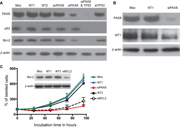 Reduced PAX8 expression leads to decreased expression of BCL2 and WT1. (A) The PAX8 -knockdown (siPAX8) in the A172 glioma cell line by siRNA (PAX8-1) produced a reduction in the BCL2 expression levels. Cells lysates were prepared 36 hours after siRNA transfection, and the PAX8, BCL2, p53, and <t>β-actin</t> (loading control) expression levels were measured by western blot. For controls, A172 cells were transfected with mock-treated (Moc), non-targeting siRNAs (NT1, NT2, and NT3) and scrambled s8-1 siRNA (scPAX8). To ensure the reduction in the glioma cell growth rate associated with the PAX8 -knockdown was not due to p53 function, p53 was also knocked down in A172 cells (sip53) independently or in combination with a PAX8 siRNA (siPAX8 p53). (B ) The PAX8 -knockdown (siPAX8) in the A172 glioma cell line by siRNA (PAX8-1) produced a reduction in the WT1 expression levels. (C) The BCL2 -knockdown produced a similar reduction in the cell growth rate compared to PAX8 -knockdown in the A172 glioma cell line. Cells were transfected with a BCL2 siRNA (siBCL2) or a PAX8 siRNA (PAX8-1, siPAX8). For controls, A172 cells were mock-transfected (Moc) or transfected with non-targeting siRNAs (NT1 and NT3). The percentage of live cells was determined by the trypan blue exclusion assay every 24 hours post-transfection. ( Insert ) Western blotting shows the BCL2-knockdown with a BCL2 siRNA and no BCL2-knockdown in controls; the loading control is β-actin.