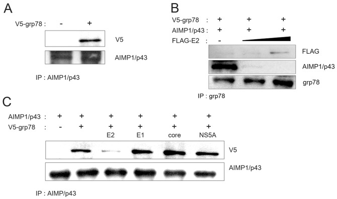 HCV E2 inhibited the interaction between <t>grp78</t> and AIMP1/p43. A. Plasmid expressing V5-tagged grp78 and plasmid expressing AIMP1/p43 were transfected to HEK 293 cells and grown. Cell lysate was subjected to immunoprecipitation using anti-AIMP1/p43 antibody. B. Plasmid expressing V5-tagged grp78 and plasmid expressing AIMP1/p43 were transfected to HEK 293 cells along with 2 or 4 µg of plasmid expressing HCV E2 and grown. Cell lysate was subjected to immunoprecipitation using anti-AIMP1/p43 antibody. C. Plasmid expressing V5-tagged grp78 and plasmid expressing AIMP1/p43 were transfected to HEK 293 cells along with plasmid expressing HCV E2, E1, core, or NS5A and grown. Cell lysate was subjected to immunoprecipitation using anti-AIMP1/p43 antibody.