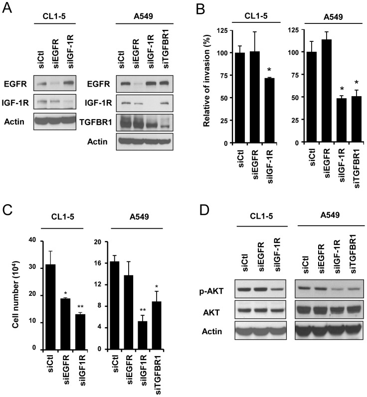 IGF-1R and TGFBR1 mediate cell invasion through AKT signaling in lung cancer cell lines. (A) Measurement of the protein levels of receptors CL1-5 or A549 cell transfected with siEGFR, siIGF-1R or siTGFBR1. (B) Measurement of the cell invasion ability of CL1-5 or A549 cells transfected with siEGFR, siIGF-1R or siTGFBR1 for 48 hours. The number of invasive cells was counted 20 hours after the transfected cells were seeded and was presented relative to invasion of cells transfected with siCtl. (C) Measurement of the cell proliferation ability of CL1-5 or A549 cells transfected with siEGFR, siIGF-1R or siTGFBR1 for 72 hours. (D) Representative immunoblots show protein levels of pAKT (Ser473), AKT and β-actin in these cells.