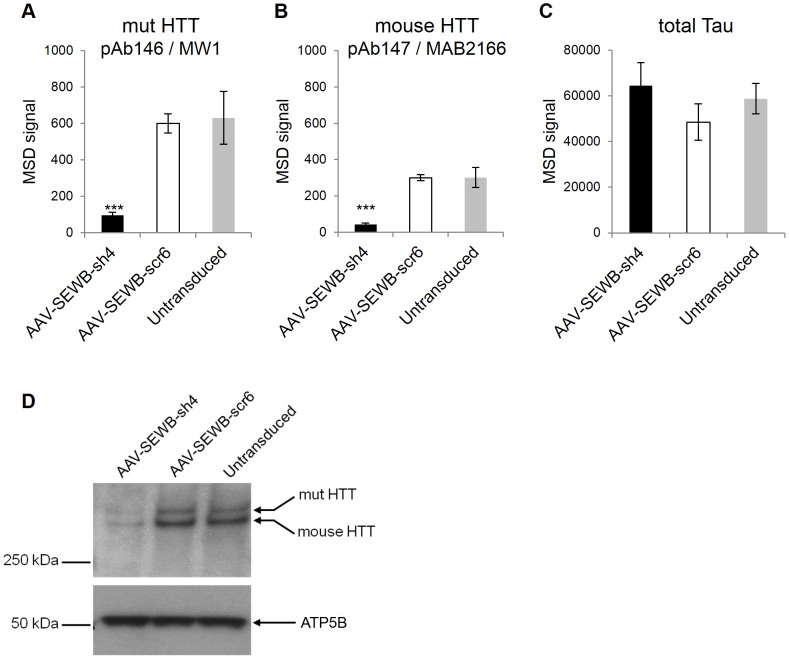 Specificity of human mutant and mouse HTT detection. The adeno-associated AAV-shRNA expression vector AAV-SEWB-sh4 was transduced into heterozygous zQ175 mouse primary neurons and humanized mutant (A) or endogenous mouse (B) HTT proteins were evaluated using the expanded polyglutamine human HTT <t>MSD</t> assay (antibody pair pAb146/MW1) or the mouse/rat HTT MSD assay (antibody pair pAb147/MAB2166), respectively. sh4, HTT targeting shRNA. scr6, scramble control shRNA. (C) Neuronal total tau protein levels measured using a commercially available MSD <t>ELISA-based</t> assay kit were monitored as loading control. Data are averages of n = 3 independent samples with correspondent standard deviations. ***, P