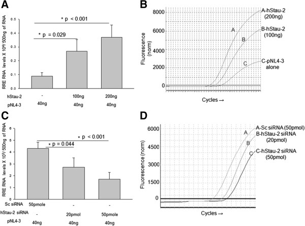 Effect of hStau-2 over-expression and knockdown on Rev export activity. A) Over-expression of hStau-2 increased RRE-RNA levels in the cytoplasmic fraction of HEK293T cells: hStau-2 over-expressed HEK293T cells or control cells were transfected with pNL4-3 pro-viral DNA. After 24 hrs of pNL4-3 transfection, total RNA was isolated from the cytoplasmic fractions and cDNA was prepared from 500 ng of RNA. Viral RRE was measured in the cytoplasmic fraction by absolute qRT-PCR. B) A leftward shift in CT curves for RRE-containing RNA upon hStau-2 overexpression. C) hStau-2 knockdown reduced RRE-RNA levels in the cytoplasmic fraction of HEK293T cells: hStau-2 siRNA or scrambled siRNA were transfected into HEK293T cells followed by pNL4-3 pro-viral DNA transfection. After 24 hrs of pNL4-3 transfection, total RNA was isolated from the cytoplasmic fractions and cDNA was prepared from 500 ng of RNA. Viral RRE was measured in the cytoplasmic fraction by absolute qRT-PCR. D) A rightward shift in CT curves for RRE-containing RNA upon hStau-2 knockdown. The experiments were done more than 3 times and the error bar represents ± SD. *p value ≤ 0.05 was taken as significant.
