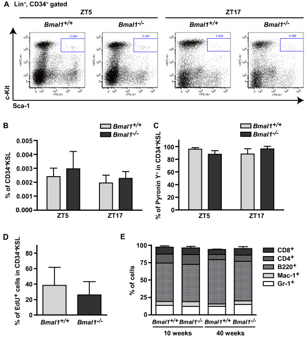 Cell cycling and differentiation of HSCs are normal in arrhythmic Bmal1 deficient mice. A, B) Normal frequency of HSCs in the BM of 8-10-week-old Bmal1 −/− mice. CD34 − KSL fractions were assessed by flow cytometry. A) Data shown are representative of CD34 − KSL cells at ZT5 and ZT17. B) The mean percentages ± SDs of CD34 − KSL cells at ZT5 (n = 4) and ZT17 (n = 3) of two independent experiments. C) Comparable frequency of quiescent cells in HSC populations. HSCs of Bmal1 +/+ and Bmal1 −/− mice were stained with Pyronin Y and analyzed by flow cytometry to give the mean percentages ± SDs of Pyronin Y − cells in the CD34 − KSL populations at ZT5 and ZT17 (n = 3) of two independent experiments. D) Normal EdU incorporation in Bmal1 −/− CD34 − KSL cells. EdU was administered orally to mice for 3 weeks, and EdU incorporation into HSCs was evaluated using a Click-iT EdU PB Flow Cytometry Assay Kit. Data shown are the mean percentages ± SDs of EdU + cells in HSC populations ( Bmal1 −/− mice; n = 6, Bmal1 −/− mice; n = 3). E) White blood cell differentiation in young (10-week-old) and aged (40-week-old) mice. Each stack in the bar represents a cell type percentage. Gr-1 + , granulocytes; Mac-1 + , macrophages; B220 + , B cells; CD4 + , CD4 + T cells; and CD8 + , CD8 + T cells (n = 6) of four independent experiments.