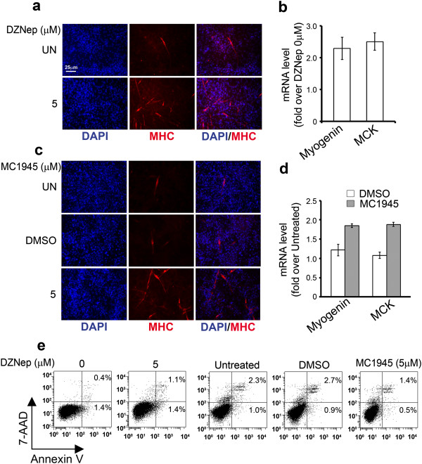 Pharmacological inhibition of EZH2 restores myogenic differentiation of embryonal RMS cells in the presence of growth medium (GM). RD cells were analyzed for the induction of muscle-like differentiation after 6 days of 5 μM DZNep (a) and MC1945 (c) treatments. Representative immunofluorescence showing de novo expression of endogenous Myosin Heavy Chain (MHC, red) in multinucleated fibers of DZNep and MC1945 treated RD cells. Untreated (UN) and control cells treated with vehicle (i.e., water or DMSO) are shown. Representative immunofluorescence of three assays. mRNA levels (real time qRT-PCR) of Myogenin and MCK in RD treated for 72 h with 5 μM DZNep (b) and 5 μM MC1954 (d) were normalized to GAPDH levels and expressed as fold increase over Untreated condition (1 arbitrary unit, not reported). Columns, means; Bars, SD. Results from two independent experiments are shown. (e) RD cells Untreated or treated for 96 h with DZNep (left) or MC1945 (right) at the indicated concentrations were stained for Annexin V and 7-AAD, and the frequency of Annexin V and 7-AAD-positive labeling (% cell death) was recorded by flow cytometry. Representative cytofluorometric plots are shown. Annexin V+/7-AAD- events (lower right quadrants) represent early stages of apoptosis, whereas Annexin V+/7-AAD + events (upper right quadrants) stand for late apoptotic cells. Representative of three independent experiments run in duplicate.