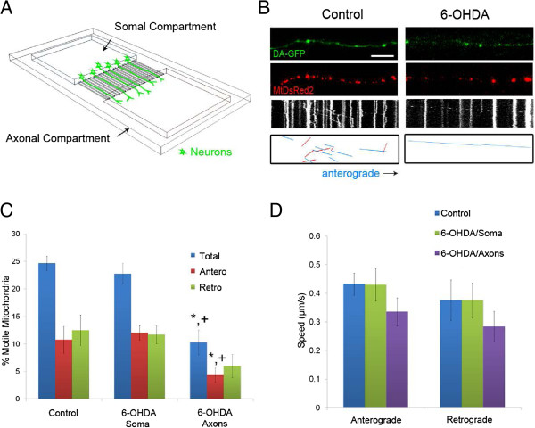 6-OHDA rapidly decreases mitochondrial movement in DA axons. A) Diagram of microdevice B) Axonal movement of mitochondria in control and 6-OHDA treated axons. DA-GFP cultures (Top panels) grown in microdevices and transduced with MitoDsRed2 (Middle panels) were imaged 30 minutes after treatment with 6-OHDA. Resulting kymographs are shown below. For additional clarity tracks of moving particles are depicted in the bottom panels: blue lines denote anterograde movement and red lines indicate retrograde trafficking. Scale bar indicates 10 μm. Quantification of C) moving mitochondria (n = 4–5 devices per group with 4–5 axons analyzed per device) and D) mitochondrial speeds. The latter were calculated as described [ 10 ] (n = 60–80 mitochondria per group). In C and D , data are represented as mean ± SEM, * + indicates p
