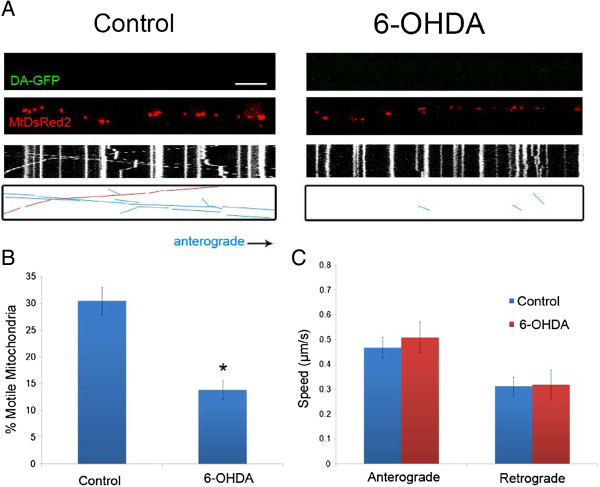6-OHDA rapidly decreases mitochondrial movement in non-DA axons. A) Axonal movement of mitochondria in control and 6-OHDA treated axons. Non-GFP positive axons (non-DA; Top panels) that were labeled with MitoDsRed2 (Middle panels) were selected for imaging 30 minutes after treatment with 6-OHDA. Resulting kymographs are shown below. For additional clarity tracks of moving particles are depicted in the bottom panels: blue lines denote anterograde movement and red lines indicate retrograde trafficking. Scale bar indicates 10 μm. Quantification of B) moving mitochondria in both anterograde and retrograde directions (n = 3–4 devices per group from with 3–5 axons analyzed per device) and C) mitochondrial speeds of motile mitochondria. The latter were calculated as described [ 10 ] (n = 90–120 mitochondria per group). In B and C, data are represented as mean ± SEM, *: indicate p
