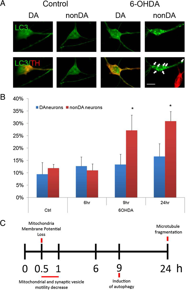 Autophagy precedes cell death in midbrain neurons following 6-OHDA treatment. A) Autophagy was assessed by introducing a GFP-tagged LC3 expression clone at DIV6 and treating midbrain cultures 1 d later with 6-OHDA. LC3-positive puncta (arrows) were assessed by GFP fluorescence in representative neurons in control and after toxin treatment. B) The number of cells with at least three LC3-GFP puncta were counted and expressed as percentage of all neurons that were LC3-GFP positive, regardless of whether the LC3-GFP signal in these neurons was diffuse or punctated. Scale bar indicates 10 μm. Mean ± SEM from 3 independent experiments (n = 3–5 per group), * p