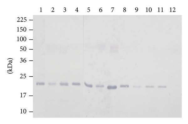 Immunoblot of panel of Leptospira spp. obtained by using rabbit anti-rLipL21-IgG antibody to detect single band in leptospiral LipL21 antigen in detergent phase. Lane 1: Canicola (strain Hond Utrecht IV); Lane 2: Hardjobovis (Sponselee); Lane 3: Autumnalis (strain Akiyami A); Lane 4: Icterohaemorrhagiae (strain RGA); Lane 5: Australis (strain Ballico); Lane 6: Pomona (strain Pomona); Lane 7: Grippotyphosa (strain Moskva V); Lane 8: L. kmetyi serovar Malaysia strain Bejo-iso 9 T ; Lane 9: Balum (strain Mus 127); Lane 10: Grippotyphosa (strain Moskva V); Lane 11: Hebdomadis (strain Hebdomadis); Lane 12: nonpathogenic species L. biflexa (strain Patoc 1). Molecular weight standards are indicated in kilodaltons.