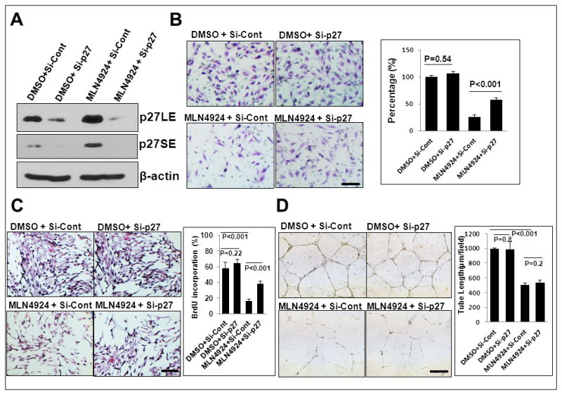 <t>p27</t> knockdown partially rescues MLN4924-induced migration and proliferation, but not tube formation MS1 cells were first transfected with siRNA targeting p27 and si-Cont for 72 hrs, followed by MLN4924 treatment for 24 hrs. One portion was subjected to IB ( A ), and the other portion was used for assays of migration ( B ), proliferation ( C ) and tube formation ( D ). Shown is mean ± SEM from three independent experiments. Scale bar represents 50 μm.