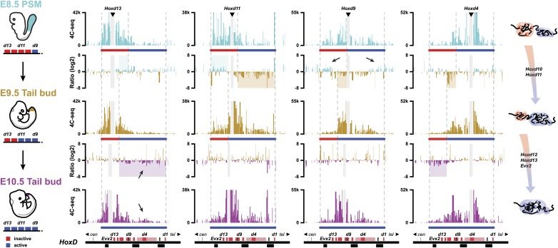 Activated Hoxd genes switch compartments. Quantitative local 4C-seq signals for the Hoxd13 , Hoxd11 Hoxd9 and Hoxd4 viewpoints in either E8.5 pre-somitic mesoderm (cyan), E9.5 tail bud (brown) or E10.5 tail bud (purple) cells. The colinear expression status of Hoxd genes is schematized below each profile and, on the left, below each cartoon. Ratios between 4C-seq signals in different samples are indicated between the corresponding profiles. The boundaries between active and inactive Hox gene compartments are indicated by dashed lines and regions displaying important changes in interactions, as discussed in the text, are highlighted. Black arrows point towards opposing interacting behaviors due to the heterogeneous activity state of the viewpoint in the sample. The locations of Hoxd genes (red) and other transcripts (black) are shown below. DOI: http://dx.doi.org/10.7554/eLife.02557.015
