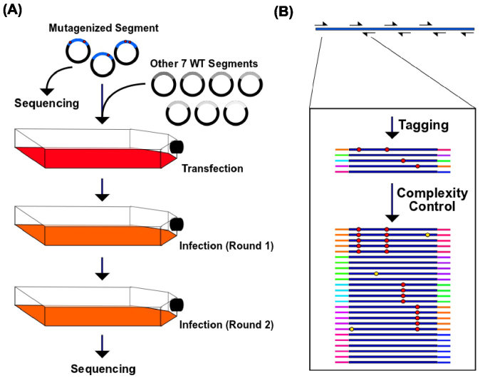 Mutant library passaging and sequencing library preparation. (A) The HA segment was randomized by error-prone PCR. The randomized segment with the remaining seven wild type segments were transfected into C227 cells to generate the viral mutant library. Two rounds of 24-hour infections were performed using A549 cells with an MOI of  0.05. Both the plasmid library and the passaged viral library were subjected to sequencing using the Illumina HiSeq 2000 machine. (B) The HA gene was divided into 12 amplicons for the first PCR. Unique tags were assigned to both ends of the individual molecules during the amplification process. The second PCR generated identical copies of individual molecules linked with unique tags. Red circles represent true mutations; Yellow circles represent sequencing errors.