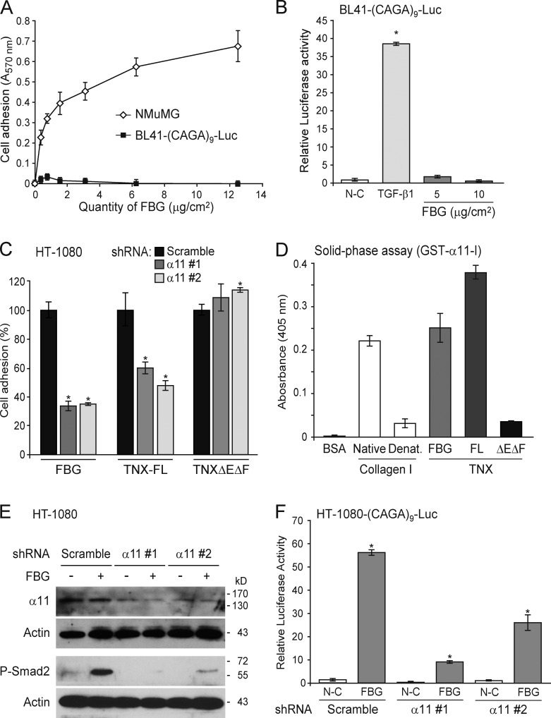 Activation of latent TGF-β by the FBG domain requires cell adhesion and the α11β1 integrin. (A) Adhesion of NMuMG and BL41-(CAGA) 9 -Luc cells to an increasing quantity of recombinant FBG domain. (B) Luciferase activity of BL41-(CAGA) 9 -Luc reporter cells cultured for 24 h on coated FBG domain or treated with 5 ng/ml TGF-β1. (C) Adhesion analysis of HT-1080 fibrosarcoma cells transiently expressing a scrambled shRNA or one of two shRNAs (#1 and #2) targeting different sequences of the ITGA11 mRNA and cultured for 30 min onto coated recombinant FBG domain or other TNX fragments (111 pmol/cm 2 ). Results represent the percentage of cell adhesion relative to the scramble shRNA condition for each recombinant protein analyzed. (D) Solid-phase assay of the interaction between the inserted domain of α11 integrin chain in fusion with GST (1 µM) and 5 µg/ml of native or denatured (Denat.) type I collagen or the different TNX derivatives (111 nM). FL, full length. (E) Immunoblotting analysis of phospho-Smad2 and the α11 integrin chain in HT-1080 cells transiently transfected as in C and seeded for 3 h onto uncoated (−) or 222 pmol/cm 2 FBG-coated (+) dishes. (F) Firefly luciferase activity of HT-1080 cells transiently cotransfected with the Smad-responsive (CAGA) 9 -Luc reporter construct and a scrambled or an ITGA11 -targeting shRNA and cultured for 24 h in noncoated (N-C) or 222 pmol/cm 2 FBG-coated wells. *, P