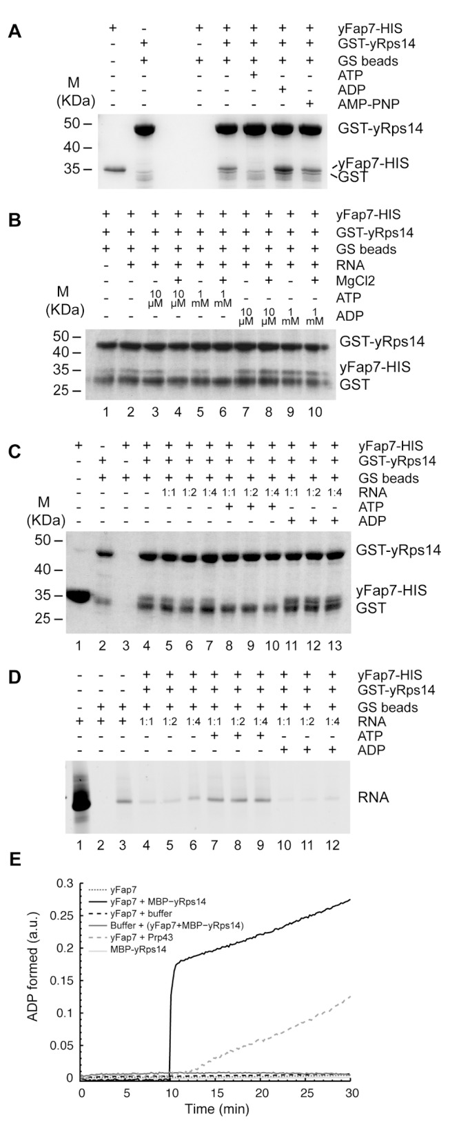 Fap7 ATPase activity regulates its association with Rsp14. Interaction between yFap7 and GST-Rps14 was tested by pulldown experiments. (A) Interaction of yFap7 with GST-Rps14 was tested by addition of 800 pmoles of yFap7 on GST-yRps14 beads resuspended in 1 ml of IP buffer. Effect of addition of ATP, ADP, or AMP-PNP at 1 mM final concentration in the presence of MgCl2 (5 mM) was tested. Protein associated with the beads was analyzed by Coomassie staining. For input controls, 10% of Fap7 (80 pmoles) and the same quantity of Rps14 beads used for the IP were loaded. (B) Effects of magnesium and nucleotide concentration were tested by using the same strategy in the presence of RNA (cf., D). Two quantities of nucleotides were used: 1 µmole (1 mM) or 10 nmole (10 µM). Experiments were done in the presence or in the absence of 5 mM MgCl 2 . (C) Association of GST-yRps14 to RNA was assessed by a competition experiment using a different ratio between RNA and yFap7: 800 pmole Fap7 with 800 pmole RNA (1∶1), 400 pmole Fap7 with 800 pmole RNA (1∶2), and 200 pmole Fap7 with 800 pmole RNA (1∶4). Nucleotides were added at 1 mM final. Protein associated with the beads was analyzed by Coomassie staining. For input controls, 10% of Fap7 (80 pmoles) and the same quantity of Rps14 beads used for the IP were loaded. (D) Same as in C, but this time the RNA counterpart was followed on Urea-acrylamide gel after SYBR Safe staining. For input control, 80 pmole of RNA was loaded. (E) ATPase activity of yFap7 (black points) was followed by a coupled enzyme assay. Effect of addition after 10 min of MBP-yRps14 (black line), buffer (dotted dark line), or Prp43 (dotted dark grey line) was also monitored. In parallel, ATPase activity of MBP-yRps14 (light grey line) alone and the preformed complex yFap7–yRps14 (dark grey line) was also tested.