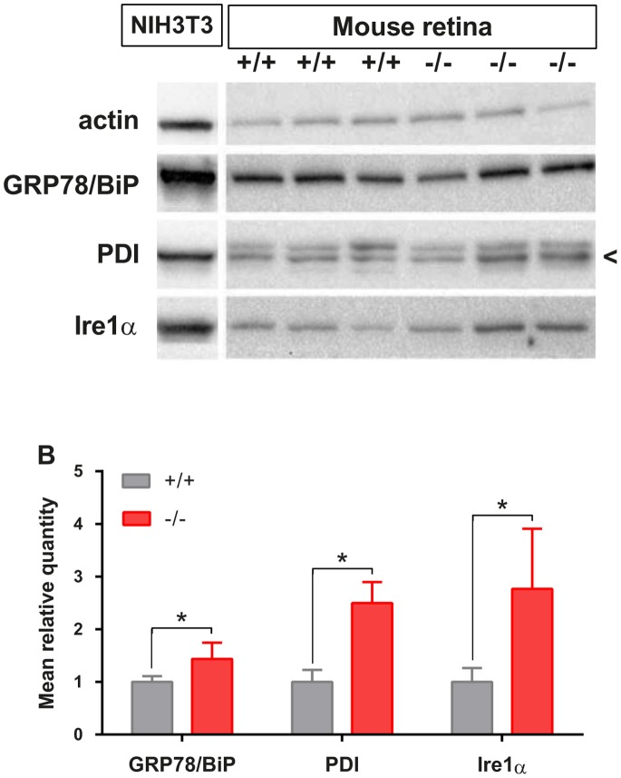 Retinal ER stress and UPR evaluation in Wfs1 −/− mice. Immunoblots (A) detected <t>GRP78/BiP,</t> PDI, IRE1, and beta actin in protein lysates of 12 month old Wfs1 +/+ (n = 3) and Wfs1 −/− (n = 3) mouse retinas and in mouse NIH3T3 fibroblasts treated with thapsigargin. Mean relative quantities for each protein according to Wfs1 genotype were obtained after normalization with beta actin values. Significance (*) is indicated when p