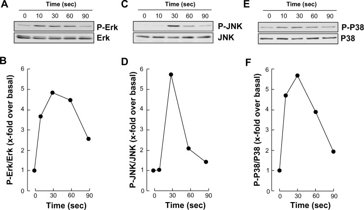 S1P triggers rapid intracellular signaling through multiple pathways in macrophage-differentiated HL-60 cells. Notes: Serum-starved HL-60 cells were treated for 18 hours with 3 μM PMA to induce HL-60 cell differentiation and adhesion. Adherent cells were then treated with 1 μM S1P for up to 1.5 minutes, following which cell lysates were isolated, electrophoresed via SDS-PAGE, and immunodetected for ( A ) P-ERK, ERK, ( C ) P-JNK, JNK, ( E ) P-P38, and P38 proteins. Quantification was performed by scanning densitometry of the autoradiograms ( B , D , and F ). Abbreviations: ERK, extracellular signal-regulated kinase; HL, human leukemia; JNK, c-Jun N-terminal kinase; P-ERK, phosphorylated ERK; P-JNK, phosphorylated JNK; P-P38, phosphorylated P38; PMA, phorbol-12-myristate-13-acetate; SDS-PAGE, sodium dodecyl sulfate–polyacrylamide gel electrophoresis; S1P, sphingosine-1-phosphate; sec, seconds.