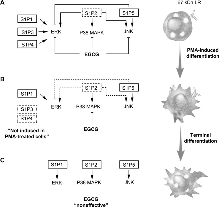 Schematic representation of pretreatment, cotreatment, or postdifferentiation cell treatments with EGCG, on S1P-mediated signaling pathways. Notes: ( A ) Undifferentiated HL60 cells express the putative EGCG receptor 67LR as well as all five S1P receptors. S1P triggers phosphorylation of ERK, P38 MAPK, and JNK. When cells were pretreated with EGCG, S1P-mediated signaling was abrogated and S1P2 gene expression inhibited. ( B ) Differentiation into adherent macrophages was induced with PMA, and only S1P1 , S1P2 , and S1P5 gene expression was increased. When EGCG was added simultaneously with PMA-induced cell differentiation, S1P2 gene expression was inhibited, and only S1P-mediated P38 MAPK phosphorylation was abrogated. ( C ) Once terminal differentiation was achieved, EGCG was ineffective at inhibiting S1P receptor expression or S1P-mediated signaling, partly because the 67LR was no longer expressed. Abbreviations: 67LR, 67kDa laminin receptor; EGCG, epigallocatechin-3-gallate; ERK, extracellular signal-regulated kinase; JNK, c-Jun N-terminal kinase; P38 MAPK, P38 mitogen-activated protein kinase; PMA, phorbol-12-myristate-13-acetate; S1P, sphingosine-1-phosphate.