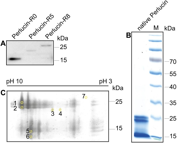 Electrophoretic analysis of recombinant and native Perlucin preparations. A) Western blot of cell culture supernatants derived from COS-7 cells ectopically over expressing the indicated Strep-tagged recombinant Perlucins, which were detected using a polyclonal anti-Strep-tag antibody as described in the Methods section. B) SDS-PAGE of native Perlucin purified from abalone shell of H. laevigata , stained with Coomassie brilliant blue showed one distinct band at approx. 25 kDa, one at 20 kDa, and one at approx. 15 kDa. C) 2D electrophoresis of native Perlucin purified from abalone shell of H. laevigata , stained with Coomassie Brilliant Blue. The indicated spots were cut out and analysed by MALDI-ToF MS as described in the Methods section. Spot 7 was used as control.