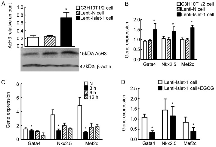 Differences in histone acetylation levels in the untransfected C3H10T1/2 cells, the C3H10T1/2 cells transfected with Lenti-N and the C3H10T1/2 cells transfected with Lenti-Islet-1. (A) Acetylated histone H3 (AcH3) was detected by western blot analysis in the untranstected C3H10T1/2 cells, the C3H10T1/2 cells transfected with Lenti-N and the C3H10T1/2 cells transfected with Lenti-Islet-1. The AcH3 relative amount in the C3H10T1/2 cells transfected with Lenti-Islet-1 was higher than that in the untransfected C3H10T1/2 cells and the C3H10T1/2 cells transfected with Lenti-N ( * P