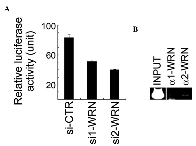 WRN positively regulates the XLF promoter activity in U2OS cells. (A) Inhibition of WRN expression decreased the XLF promoter activity. The putative XLF promoter containing a sequence from −596 to +169, relative to the transcription start site of XLF , was subcloned into the PGL3-basic luciferase vector, and the resulting reporter construct was transfected into WRN -depleted U2OS cells. Triplicate samples were analyzed. (B) WRN bound the XLF promoter region. ChIP assays were performed using two different anti-WRN antibodies. ChIP with α1-WRN antibody did not yield any PCR product, which also served as a negative control. The PCR product corresponds to the position from −360 to −90 of the promoter relative to the transcription start site. XLF, XRCC4-like factor; ChIP, chromatin immunoprecipitation; si-CTR, control siRNA.