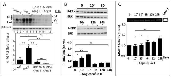 ERK and MMP-2 activities mediate the Ang II-induced Hi-FGF-2 upregulation in hMFs. Panel A. Western blot and corresponding cumulative data showing the effect of an ERK inhibitor (U0126), or MMP-2 inhibitor (MMP2i) on the Ang II induced Hi-FGF-2 upregulation. Signal for β-tubulin is also shown, serving as loading control. Panel B. Western blots and corresponding cumulative data showing the effect of Ang II administration on phospho-(P)-ERK and total ERK, after 10–30 minutes and 6–24 hours of stimulation as indicated. The graph shows cumulative data (n = 3) of the ratio between P-ERK/ERK over time (10–30 min, 6–24 hours), in response to Ang II. Minutes and hours are indicated as ' and h. Panel (C) Representative zymogram of MMP-2 activity in hMFs, including a positive control band (MMP-2), and corresponding cumulative data, showing relative MMP-2 activity in response to Ang II, over time (10–30 min, 6–24 hours), as indicated. For all graphs, brackets show comparisons between groups; *, **, ***, and ns correspond to P