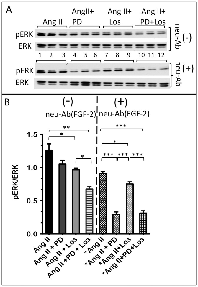 Both AT-1R and AT-2R mediate the Ang II-induced ERK activation in hMFs. Panel A shows western blot of activated (phosphorylated) pERK, and total ERK, in hMFs stimulated for 30 minutes with with Ang II (lanes 1,2,3), Ang II + PD123319 (lanes 4,5,6), Ang II + Losartan (lanes 7,8,9), and Ang II +PD123319 +Losartan (lanes 10,11,12), in the absence (-) or presence (+) of neutralizing anti-FGF-2 antibodies (neu-Ab FGF-2 ), as indicated. Please note that the western blot for pERK in the groups incubated with neu-Ab FGF-2 is not directly comparable to the western blot for pERK in the groups incubated in the absence of neu-Ab FGF-2 (different exposures). Panel B shows pERK/ERK ratios in the groups shown in panel A. Brackets show statistically significant differences between groups, where *, **, ***, correspond to P