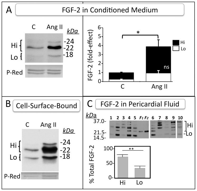 """Detection of Hi-FGF-2 in the extracellular environment in vitro and in vivo . Panel (A) . Representative western blot images of FGF-2 detection in conditioned medium from unstimulated or Ang II-stimulated hMFs. Each lane contains the heparin-sepharose-bound fraction from 60 ml of pooled conditioned medium. Panel (B) . Representative western blots for FGF-2 """"eluted"""" from the cell surface with a high salt wash, and concentrated by binding to heparin-sepharose. Each lane contains the heparin-bound fraction from a 10 ml wash (5×100 near-confluent plates). Ponceau S Red (P-Red) staining of unidentified protein band(s) is also shown, indicative of equivalent loading. Experiments shown in A and B were repeated 2 more times, with similar results. Panel (C) . Western blot image, and corresponding quantitative data of FGF-2 isoforms present in human pericardial fluid (n = 10). Lanes 1-5 (gel 1) and 6-10 (gel 2) contain the heparin-sepharose-bound fraction from 0.5 ml pericardial fluid of individual patients. Lanes marked as F1, F2 contain recombinant Lo-FGF-2 (histidine-tagged) loaded at 0.25 and 0.5 ng/lane respectively. Sample 10 was deliberately overexposed to increase visibility of bands. Recombinant FGF-2, used as standard, was included in the second gel as well (not shown here). The graph shows percent contribution of Hi- or Lo-FGF-2 isoforms to the total FGF-2 signal (mean ± SEM). In all panels, brackets show comparisons between groups; * and ** correspond to P"""