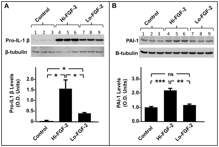 Effect of extracellular-acting FGF-2 isoforms on the accumulation of pro-IL-1β and PAI-1 by hMFs. Panel A , western blot and corresponding cumulative data showing relative pro-IL-1β levels (optical density, O.D. units) in hMF cell lysates from unstimulated cells (lanes 1,2,3) and cells stimulated with 10 ng/ml of a recombinant Hi-FGF-2 preparation (Hi, lanes 4,5,6) or 10 ng/ml of recombinant Lo-FGF-2 (Lo, lanes 7,8,9), as indicated. Both Hi- and Lo-FGF-2 upregulated pro-IL-1β, although the effect of Hi-FGF-2 was significantly more potent. Panel B , western blot and corresponding quantitative data showing relative PAI-1 levels (optical density, O.D. units) in hMF cell lysates from unstimulated cells (lanes 1,2,3) and cells stimulated with Hi-FGF-2 (Hi, lanes 4,5,6) or Lo-FGF-2 (Lo, lanes 7,8,9), as indicated. Hi- but not Lo-FGF-2 upregulated PAI-1 levels. Brackets mark comparisons between groups where *, **, ***, and ns denotes P