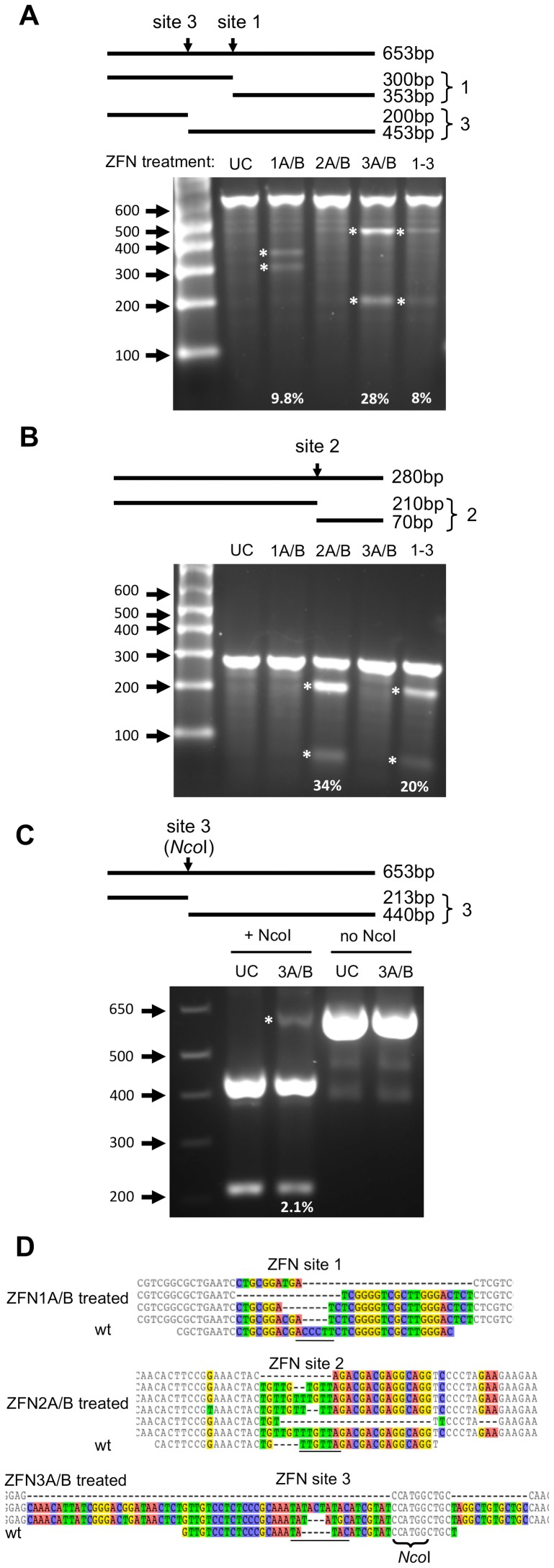 ZFN-induced target site disruption in HepAD38 cells. ( a, b ) Cells were transduced with scAAV2 vectors expressing ZFN pairs 1, 2, 3 or all three pairs together (1–3) at a total MOI of 10000 genomes/cell. The presence of mutations was analyzed in DNA isolated from transduced cells 72 hours later using the Surveyor nuclease assay. ( c ) For ZFN site 3, an analysis of DNA mutagenic events disrupting the internal NcoI cleavage site was also performed. Above the gel images, the sizes of PCR amplicons and the cleavage products produced upon Surveyor nuclease cleavage (indicating mutations at the indicated target site) or NcoI cleavage are shown. bp – base pairs; UC – untreated control; ZFN – zinc finger nuclease. Bands indicating mutations are highlighted with an asterisk and the percentage of ZFN-mediated DNA mutation for each targeted site is indicated. ( d ) DNA mutations that were detected at ZFN target sites 1, 2 and 3 within HepAD38 HBV sequences are shown above the wild-type ZFN site. Nucleotides with differences in at least one sequence are shown in color. Spacer regions are underlined. The rates at which DNA mutations were detected are listed in Table 1 . wt – wild type.