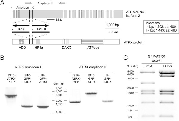 ATRX overexpression plasmids contain IS10 insertions. (A) Schematic map of the insertions found in IS10-GFP-ATRX and IS10-ATRX-YFP. The exon structure (alternate white and gray bars) of ATRX cDNA isoform 2 (top) and some relevant domains from the protein sequence (bottom) are shown. The insertion sites are denoted by black bars and their positions in the cDNA and the protein are described in the right box. Black arrows show the direction of the IS10 elements found. The stop codons introduced by IS10 in the protein sequence are indicated with asterisks. The position of two of the primer pairs used for analyzing ATRX sequence is shown (white and gray arrows). The NLS within ATRX cDNA is indicated with a black bar. (B) PCR analysis of IS10-GFP-ATRX, IS10-ATRX-YFP and IF-GFP-ATRX using the primers shown in (A). Both amplicons of IF-GFP-ATRX have the expected size (1,449 bp for amplicon I and 1,935 for amplicon II) while amplicon I shows an insertion in IS10-ATRX-YFP and amplicon II shows an insertion in IS10-GFP-ATRX (both have additional 1,336 bp). (C) Representative EcoRI digestion patterns of the IF-GFP-ATRX plasmid grown in two different bacteria strains. The Stbl4-derived plasmid has the expected pattern while the plasmid derived from <t>DH5α</t> shows an insertion in the 2,400bp fragment (shift from a 2,468 bp fragment to ~3,800 bp).