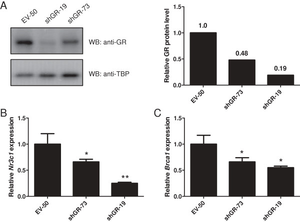Expression of GR and Brca1 is decreased in cells stably expressing an shRNA vector against endogenous GR. EPH-4 cells were stably transfected with a puromycin selectable marker and either an empty vector (H1-2; EV) or an shRNA vector directed against the endogenous glucocorticoid receptor (shGR). Cells were puromycin-selected and expanded. A . EV-50, shGR-19, and shGR-73 stable clone lines were lysed and subjected to Western blotting to determine GR expression (shown in left panel). Densitometric analysis was performed to quantify the level of GR protein knockdown in shGR-73 and shGR-19 relative to EV-50 (shown in right panel; numbers indicate protein levels relative to EV-50). B-C . RNA was prepared from EPH-4 stable cell lines EV-50, shGR-73, and shGR-19, and qRT-PCR analysis of mouse B . Nr3c1 (GR) and C . Brca1 expression was conducted using TaqMan gene expression assays for each gene. Raw C t values for each gene were normalized to raw C t values for mouse Tbp internal control for triplicate samples, and are presented as the level of expression relative to the EV-50 sample. Bars represent the mean of technical replicates, and error bars represent standard deviation (N = 3). Statistically significant changes in gene expression relative to EV-50 are indicated for each gene: one asterisk, p