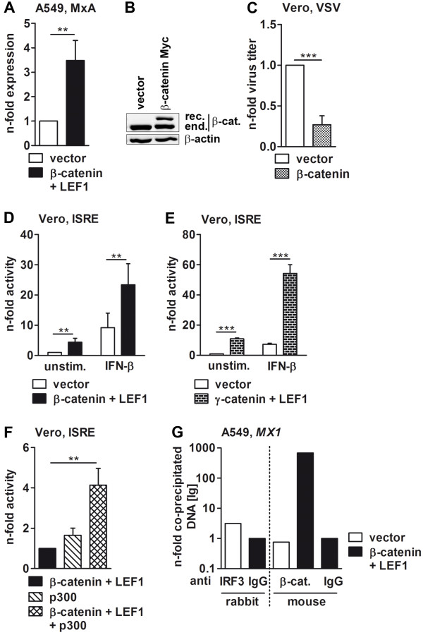 The ISG promoter activity is triggered by β- and γ-catenin. (A) A549 cells were transfected with β-catenin and LEF1 for 30 h, and the mRNA level of the type I and type III IFN-dependent MX1 gene was measured by qRT-PCR. The mRNA amount of empty vector-transfected cells was taken as unity. (B and C) Vero cells transfected for 24 h with indicated plasmids were infected with vesicular stomatitis virus (VSV) (MOI = 0.0001) for an additional 24 h. Subsequently, the overexpression of β-catenin was confirmed by immunoblotting of corresponding RIPA lysates (B) and the propagation of VSV by standard plaque titration assay (C) . (D and E) Vero cells were co-transfected with the ISRE luciferase reporter gene and plasmids coding for proteins indicated in column legends. After 24 hours, Vero cells were left unstimulated or treated with 100 U/ml IFN-β for 8 h. The y-axis represents the relative reporter gene activity with luciferase activity of unstimulated, empty vector-transfected cells being set to one. (F) Vero cells were transfected with the ISRE luciferase reporter gene, and its activity in β-catenin- and LEF1-overexpressing cells was measured in the presence or absence of co-transfected p300. The luciferase activity of β-catenin and LEF1-transfected cells was arbitrarily taken as unity. (G) A549 cells were transfected with empty vector or plasmids coding for β-catenin and LEF1 for 30 h, and the interaction of cellular proteins with the DNA was analyzed by ChIP assays using specific antibodies to IRF3 or β-catenin. The co-immunoprecipitated DNA was amplified by qRT-PCR using specific primers for the promoter region of the MX1 gene and is given as the n-fold amount to the IgG control. Representative values from one of three repeated experiments are depicted.