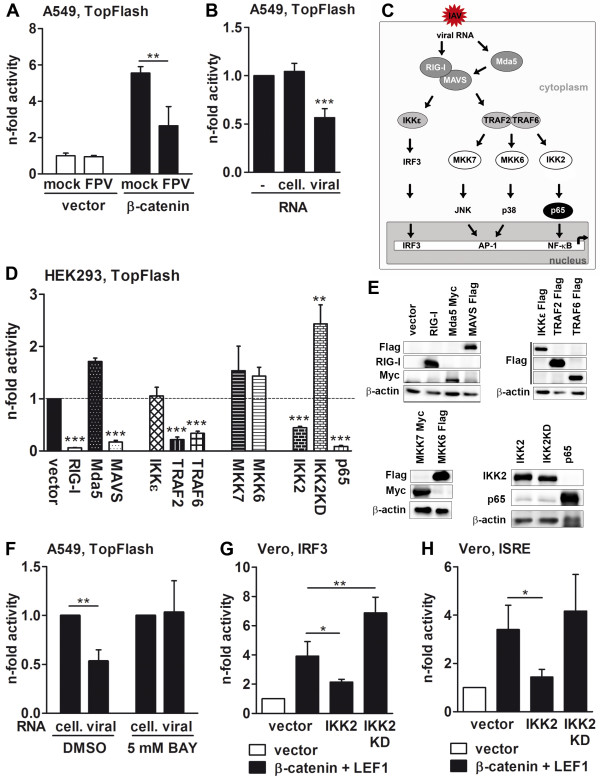 IAV infection inhibits β-catenin-mediated transcriptional activation of LEF/TCF-dependent target genes. (A and B) A549 cells were transfected with the TopFlash reporter construct together with an empty vector or a plasmid coding for β-catenin. At 24 h post transfection, the cells were infected with FPV (MOI = 5) or stimulated (via transfection) for an additional 8 h with 500 ng of cellular or viral RNA or left untreated. Subsequently, the promoter activity was measured. The luciferase activity of mock-infected or unstimulated but empty vector-transfected cells was taken as unity. (C) A schedule of signaling cascades activated by IAV RNA is depicted (adapted from [ 10 , 55 , 56 ]). (D and E) HEK293 cells were transfected with the TopFlash reporter gene construct together with β-catenin and plasmids coding for the indicated proteins. At 30 h post transfection, the promoter activity was measured (D) . The luciferase activity of β-catenin and empty vector-transfected cells was arbitrarily taken as unity. Overexpression of the recombinant proteins was analyzed by Western blotting. The β-actin immunoblots always served as loading controls (E) . (F) A549 cells transfected with the TopFlash reporter plasmid together with β-catenin were stimulated with 5 mM of BAY inhibitor or DMSO as control. At 16 h post stimulation, cells were transfected with 500 ng cellular or viral RNA for an additional 8 h and the promoter activity was measured. The luciferase activity of cells stimulated with cellular RNA was always taken as unity. (G and H) Vero cells were transfected with reporter gene plasmids containing either the IRF3 responsive elements of the IFN-β enhanceosome (G) or the ISRE motif (H) along with plasmids coding for proteins indicated in column legends. The promoter activity was measured 30 h post transfection. Luciferase activity of cells transfected with any vector control was arbitrarily taken as unity.