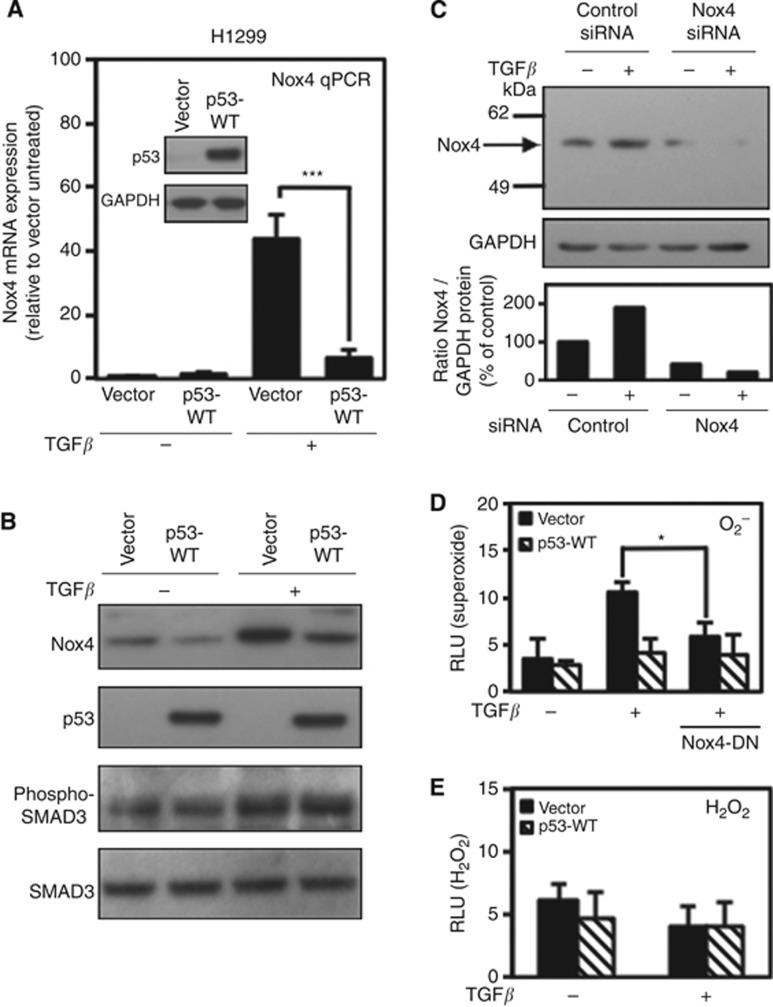 Wild-type p53 (WT-p53) suppresses TGF- β -induced Nox4 in p53-null H1299 lung epithelial cells. ( A ) H1299 cells were transfected with vector alone or WT-p53 cDNA. Twenty-four hours after transfection, cells were treated with TGF- β (5 ng ml −1 ) for 24 h. Human Nox4- and GAPDH-specific primers were used for PCR amplification of total cDNA reverse transcribed from cells ( n =3). Results are described as relative quantification of Nox4 mRNA relative to vector untreated expression using GAPDH as an internal control for normalisation. Inset shows immunoblot analysis of p53 protein expression in H1299 cells transfected with vector alone or p53-WT plasmids. ( B ) Nox4 protein is downregulated by p53-WT expression. H1299 cells were transfected and treated as described in A . Forty micrograms of total cell lysate were analysed by western blotting. The immunoblot was probed sequentially with antibodies against Nox4, p53, phospho-SMAD3, and total SMAD3. ( C ) H1299 cells were transfected with non-targeting control or SMARTpool Nox4-specific siRNAs (50 n M ) for 72 h, and either left untreated or treated with TGF- β (5 ng ml −1 ) for an additional 24 h. Nox4 protein expression was analysed by western blotting. Immunoblots were probed with anti-Nox4 followed by anti-GAPDH antibodies. ( D ) H1299 cells were transfected with vector alone or p53-WT or co-transfected with dominant-negative Nox4 (Nox4-DN) cDNA. Twenty-four hours after transfection, cells were treated with TGF- β (5 ng ml −1 ) for 24 h. Cells were collected and assayed for superoxide production with superoxide-specific Diogenes reagent for 1 h ( n =3, in triplicate). ( E ) H1299 cells were transfected with either vector control or p53-WT plasmids and treated with TGF- β as in D and collected and assayed for H 2 O 2 production with luminol/HRP ( n =3, in triplicate). Significance values are indicated as * P -value