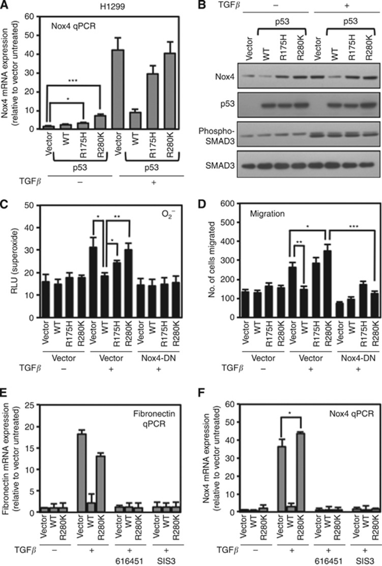 Mutant p53 proteins support TGF- β -induced Nox4 and cell migration. ( A ) H1299 cells were transfected with vector control plasmid, wild-type p53 (WT-p53), p53-R175H mutant, or p53-R280K mutant plasmids. Twenty-four hours post transfection, the cells were treated with TGF- β (5 ng ml −1 ) or left untreated for an additional 24 h. Nox4-specific primers were used for quantitative real-time PCR. Nox4- and GAPDH-specific primers were used for quantitative PCR ( n =3). Results are described as relative quantification of Nox4 mRNA relative to vector untreated control. ( B ) Nox4 protein is differentially regulated by WT and mutant p53 expression. H1299 cells were transfected and treated as described in A . Forty micrograms of total cell lysate were analysed by western blotting. The blot was probed sequentially with antibodies against Nox4, p53, phospho-SMAD3, and total SMAD3. ( C ) H1299 cells were transfected with vector alone, p53-WT, p53-R175H, or p53-R280K, and co-transfected with either vector control or dominant-negative Nox4 (Nox4-DN) plasmids. Twenty-four hours after transfection, cells were treated with TGF- β (5 ng ml −1 ) for 24 h. Cells were then collected and assayed for superoxide generation ( n =3, in triplicate). ( D ) H1299 cells were transfected as in C for 24 h. The cells were then re-seeded in the upper chamber of a Matrigel transwell and incubated in the lower chamber containing RPMI-1640 medium containing TGF- β 5 ng ml −1 . After 24 h, the migrating cells were fixed, stained, and counted from 10 random fields ( n =3). ( E , F ) H1299 cells were transfected with vector control, p53-WT, or p53-R280K. After 24 h, the cells were treated with 616451 (10 μ M ), a TGF- β receptor I-specific inhibitor or SIS3 (10 μ M ), a SMAD3-specific inhibitor for 4 h before treating with TGF- β for 20 h. Fibronectin-( E ) or Nox4 ( F )-specific primers were used for real-time quantitative PCR amplification of total cDNA reverse transcribed from cells. Results are described as relative quantification relative to vector untreated control. GAPDH-specific primers were used as an internal control ( n =3, in triplicate). Significant values are indicated as * P -value