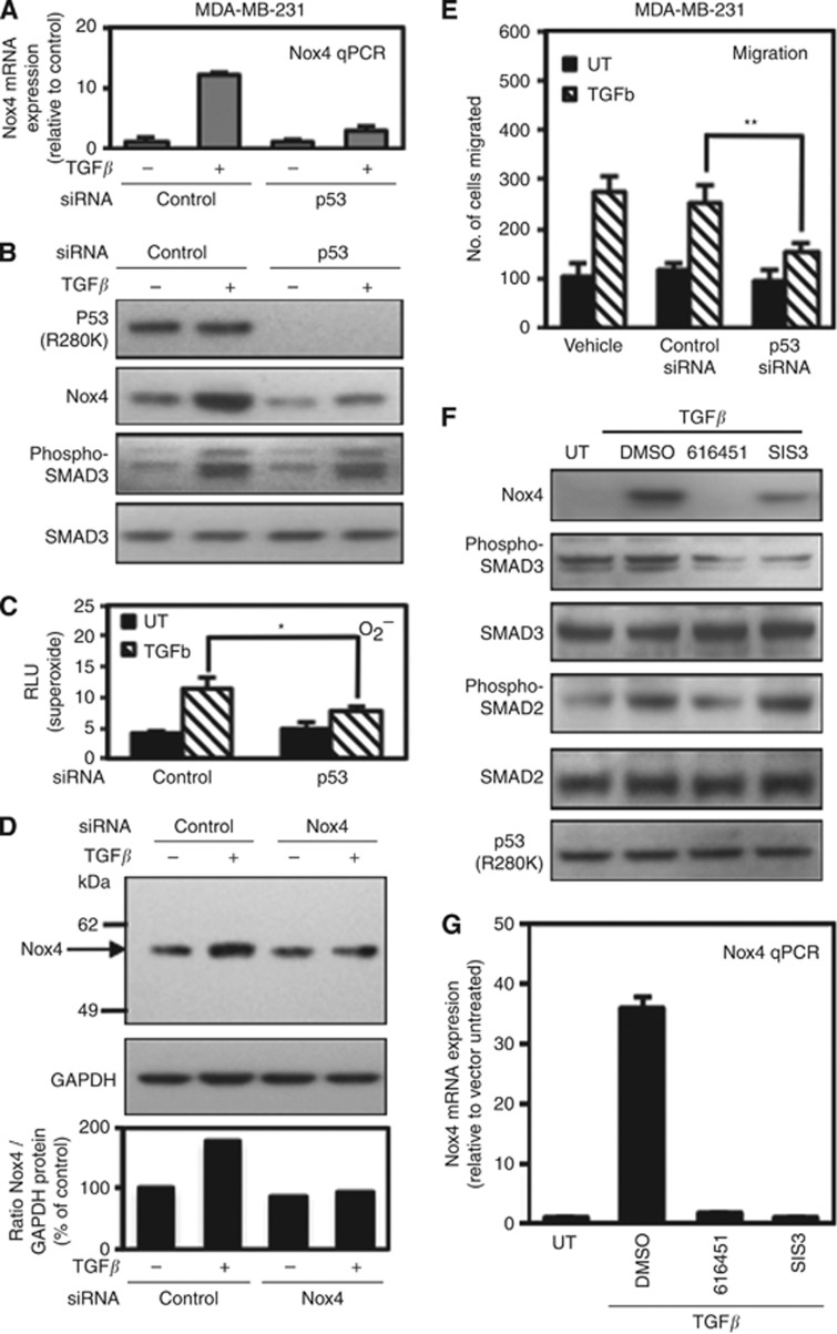 Endogenous mutant p53 (R280K) supports TGF- β /SMAD-dependent Nox4 induction in MDA-MB-231 breast epithelial cells. ( A ) MDA-MB-231 cells were transfected with control siRNAs (50 n M ) or p53-specific siRNAs (50 n M ) for 72 h then simulated with TGF- β (5 ng ml −1 ) for 24 h. Real-time quantitative PCR analysis of Nox4 mRNA expression was determined from MDA-MB-231 cells treated as in A ( n =3, in triplicate). ( B ) MDA-MB-231 cells were treated as in A followed by protein expression analysis by immunoblotting 40 μ g of total cell lysate. The blot was sequentially probed with antibodies against Nox4, p53, phospho-SMAD3, and total SMAD3. ( C ) MDA-MB-231 cells were transfected with non-targeting control (50 n M ) or SMARTpool Nox4-specific siRNAs (50 n M ) for 72 h and either left untreated or treated with TGF- β (5 ng ml −1 ) for an additional 24 h. Nox4 protein expression was analysed by western blotting. Immunoblots were probed with anti-Nox4 followed by anti-GAPDH. ( D ) MDA-MB-231 cells were treated as described and assayed for superoxide production with superoxide-specific Diogenes reagent for 1 h ( n =3, in triplicate). ( E ) MDA-MB-231 cells were treated with transfection reagent alone or transfected with control or p53-specific siRNAs. After 72 h, the cells were re-seeded in the upper chamber of a Matrigel transwell and incubated in the lower chamber containing RPMI-1640 medium containing TGF- β 5 ng ml −1 for 24 h. The migrating cells were counted from 10 random fields ( n =3). ( F ) MDA-MB-231 cells were left untreated or treated with DMSO (vehicle), 616451 (10 μ M ), or SIS3 (10 μ M ) for 4 h before the addition of TGF- β (5 ng ml −1 ) for 24 h. Protein expression was analysed by immunoblotting 40 μ g of total cell lysate and sequentially probed with the indicated antibodies. ( G ) Total RNA extracted from cells treated as in F was reverse transcribed for real-time quantitative PCR analysis of Nox4 mRNA expression. Results are described as relative quantification of Nox4 mRNA relative to untreated control ( n =3, in triplicate). Significant values are indicated as * P -value