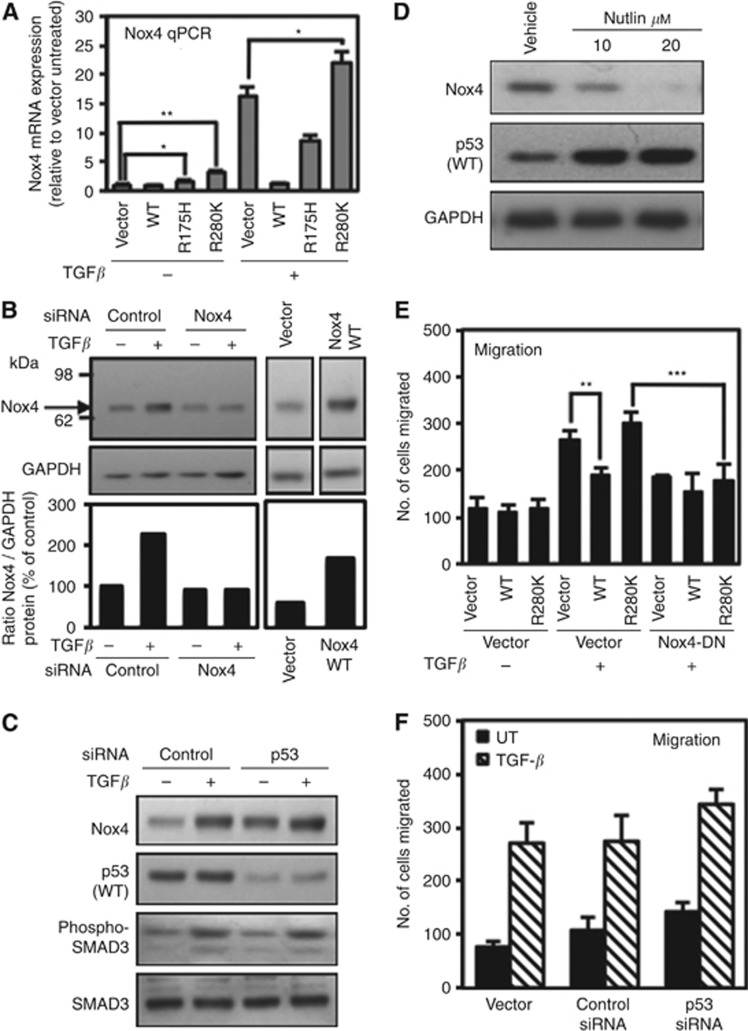 Mutant p53 (R280K) expression correlates with Nox4 expression and overrides wild-type p53 (WT-p53) repression of Nox4 in MCF-10A breast epithelial cells. ( A ) MCF-10A cells were transfected with empty vector control, p53-WT, p53-R175H, or p53-R280K plasmids for 24 h followed by treatment with or without TGF- β (10 ng ml −1 ) for an additional 24 h. Nox4- and GAPDH-specific primers were used for real-time quantitative PCR amplification of total cDNA reverse transcribed from cells. Results are described as relative quantification of Nox4 mRNA relative to vector untreated control ( n =3). ( B ) Detection of Nox4 protein by western blotting. MCF-10A cells were transfected with non-targeting control (50 n M ) or SMARTpool Nox4-specific siRNAs (50 n M ) for 72 h, and either left untreated or treated with TGF- β (5 ng ml −1 ) for an additional 24 h (left panel). Control blots (right panels) detect a transfected Nox4 cDNA product of the same size. Immunoblots were probed with anti-Nox4 followed by anti-GAPDH antibodies. ( C ) MCF-10A cells were transfected with control siRNAs (50 n M ) or p53-specific siRNAs (50 n M ) for 72 h followed by treatment with or without TGF- β (10 ng ml −1 ) for 24 h. Protein expression was analysed by immunoblotting 40 μ g of total cell lysate and sequentially probed with antibodies against Nox4, p53, phospho-SMAD3, and total SMAD3. ( D ) MCF-10A cells were treated with 10 or 20 μ M Nutlin-3 for 24 h. Protein expression was analysed by immunoblotting 40 μ g of total cell lysate and sequentially probed with antibodies against Nox4, p53, and GAPDH sequentially. ( E ) MCF-10A cells were co-transfected with vector alone or Nox4-DN and p53-WT, or p53-R280K plasmids. Twenty-four hours post transfection, cells were re-seeded in the upper chamber of a Matrigel transwell and incubated with the lower chamber containing DMEM/F12 medium with TGF- β 10 ng ml −1 . After 24 h, the migrating cells were fixed, stained, and counted from 10 random fields ( n =3). ( F ) MCF-10A cells were treated with transfection reagent alone or transfected with control or p53-specific siRNAs. After 72 h, the cells were re-seeded in the upper chamber of a Matrigel transwell and incubated in the lower chamber containing DMEM/F12 medium with TGF- β 5 ng ml −1 for 24 h. The migrating cells were counted from 10 random fields ( n =2 in triplicate).