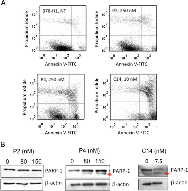 Annexin V-propidium iodide and PARP-1 cleavage assays . (A) Annexin V-propidium iodide assay of B78-H1 cells treated with 250 nM P2 or P4 and 10 nM C14. The proportion of cell population in apoptosis and necrosis is reported in Table 1 . Before the FACS analysis the cells have been treated with porphyrin and light (7.2 J/cm 2 ). The experiment has been performed in triplicate; (B) Levels of PARP-1 and β-actin in B78-H1 cells untreated or treated with 80 and 150 nM P2 and P4, 7.5 nM C14. The Western blots show the cleavage of PARP-1.
