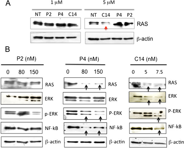 Effect of porphyrins on protein RAS and ERK pathway . (A) Immunoblots showing the expression level of protein RAS in melanoma B78-H1 cells 24 h after treatment with porphyrins P2, P4 and C14 (1 and 5 μM) without irradiation. C14 at 5 μM reduces the level of protein RAS through a light-independent mechanism; (B) Immunoblots showing the levels of RAS, ERK, P-ERK, NF-κB and β-actin in untreated or porphyrin/light treated B78-H1 cells, 24 h after light treatment.