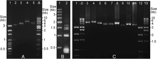 PCR amplicons from the mitochondrial genome of the horse louse, Haematopinus asini . (A) Amplicons generated with the horse-louse-specific primers, 12sB2448F–12sB2448R (lane 2), 16sB2448F–16sB2448R (lane 3), cox1B2448F–cox1B2448R (lane 4) and cox2B2448F–cox2B2448R (lane 5) from four mitochondrial minichromosomes. Lane 1 and lane 6: 100-bp Ladder and 1-kb Ladder (BioSciences). (B) Amplicons generated with the primer pair B2448F-B2448R from the coding regions of all of the mitochondrial minichromosomes of the horse louse (lane 2). Lane 1: 500-bp DNA Ladder (Tiangen). (C) PCR verification of the mt minichromosomes of the horse louse. Lane 1 and 12: 100-bp ladder. Lane 2 and 13: 1-kb ladder. Lane 3–11: PCR amplicons from the nine minichromosomes of the horse louse: K- nad4 -atp8-atp6-N , nad2 -I-cox1-L 2 , D-Y- cox2 -S 1 -S 2 -P-cox3-A , E- cob -V , Q-nad1-T-G- nad3 -W , H- nad5 -F-nad6 , M , L 1 -rrnL and R-nad4L- rrnS -C . Genes from which PCR primers were designed are in bold.