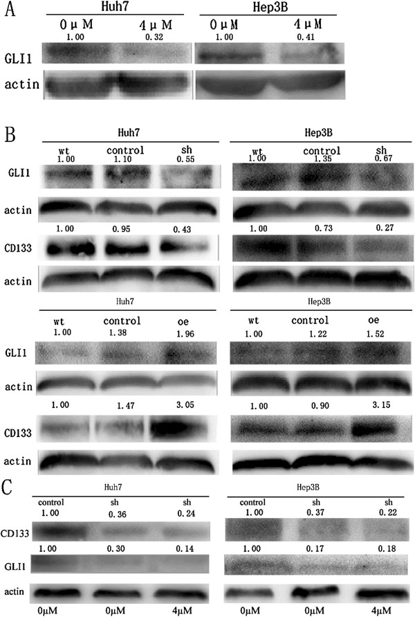 As 2 O 3 down-regulated GLI1 expression via the Hedgehog signaling pathway. (A) , As 2 O 3 decreased GLI1 protein expression in CD133 + Huh7-wt and CD133 + Hep3B-wt cells, as indicated by Western blotting analysis. (B) , Short hairpin RNA knockdown of GLI1 expression decreased CD133 expression in CD133 + Huh7-wt and CD133 + Hep3B-wt cells; similarly, up-regulation of GLI1 expression increased CD133 expression (wt = CD133 + Huh7-wt and CD133 + Hep3B-wt; control = Huh7-LV-shNon, Hep3B-LV-shNon, and Huh7-LV-oeNon, Hep3B-LV-oeNon; sh = Huh7-LV-shGLI1 and Hep3B-LV-shGLI1; oe = Huh7-LV-oeGLI1 and Hep3B-LV-oeGLI1). (C) , Huh7-LV-shGLI1 and Hep3B-LV-shGLI1 cells were treated with 4 μM As 2 O 3 for 48 hours, the expression of CD133 did not decrease significantly.