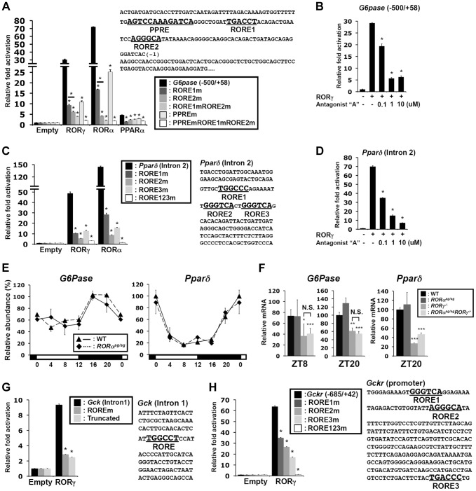 """Transcriptional regulation of glucose metabolic genes by RORγ. ( A ) Sequence and activation of the RORγ binding region of the G6pase (−500/+58) proximal promoter. The ROREs and PPRE are indicated in bold. Activation of the G6pase promoter by RORγ was examined by transfecting Huh-7 cells as indicated with pCMV-β-Gal, pCMV10-3xFlag-RORγ, -RORα or -PPARα (with 10 µM Wy14,643) expression vectors and a pGL4.10 reporter driven by G6Pase (−500/+58) or the promoter in which the RORE and PPRE were mutated. Luciferase activities were normalized to the control transfected with the empty expression vector. ( B ) Inhibition of the activation of the G6pase (−500/+58) promoter by RORγ-selective antagonist """"A"""". ( C ) Activation of the Pparδ regulatory region by RORγ. Sequence of the RORγ binding region in intron 2 of Pparδ . The three potential ROREs are indicated in bold. Huh-7 cells were co-transfected with pCMV-β-Gal, pCMV10-3xFlag-RORγ or -RORα expression vector, and the pGL4.27 reporter plasmid containing the Pparδ (intron 2) or the intron in which the ROREs are mutated. ( D ) Inhibition of the activation of the Pparδ (intron 2) by the RORγ-selective antagonist. Data represent mean ±SEM, * P"""