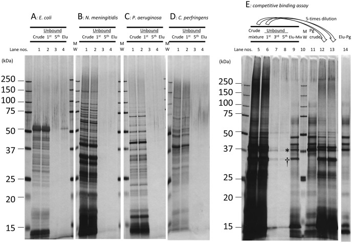"""Binding to SB-Epoxy of MVs from different bacterial species. Shown are results of the assays using crude MV preparations from the following five different species: E. coli KP7600, N. meningitidis H44/76, P. aeruginosa PAO1 Holloway, C. perfringens strain 13, and P. gingivalis ATCC 33277. (A-D) Crude MVs from a single strain was incubated with the SB-Epoxy. Unbound components were collected in five washes and bound components were eventually eluted by SDS-PAGE loading buffer. Lanes denoted """"1"""" are the starting material from conventional purification (Crude). Lanes denoted """"2"""" are the first unbound fractions (Unbound, 1 st ). Lanes denoted """"3"""" are the fifth unbound fractions (Unbound, 5 th ). Lanes denoted """"4"""" are the elution fractions (Elu). (A: E. coli KP7600, B: N. meningitidis H44/76, C: P. aeruginosa PAO1-Tokai, D: C. perfringens strain 13). (E) Crude MVs from the five species were mixed with SB-Epoxy. The selective elimination of P. gingivalis MVs from the mixture is shown. Lanes 5 12: the input of mixtures of crude MVs (Crude mixture). Lanes 6 13: the first unbound fractions (Unbound, 1 st ). Lanes 12 13: five-fold diluted samples of lanes 5 6, respectively. Lanes 7, 8, 9: the third unbound fraction (Unbound, 3 rd ), the fifth unbound fraction (Unbound, 5 th ), and the elution fraction (Elu-Mix) from the mixture of four different MV preparations, respectively. Lane 10: the molecular weight marker. Lane 11: the crude MVs of P. gingivalis (Pg, Crude). Lane 14: the elution fraction from crude MVs of P. gingivalis only (Elu-Pg). The same volume (10 µl) was applied in each well of each PAGE gel. P. gingivalis FimA is denoted by an asterisk (*). N. meningitidis PorB is denoted by a dagger (†)."""
