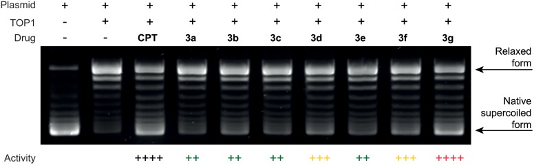 DNA relaxation inhibition assay. Drug concentration was 10 µM. Activities are expressed relative to that of camptothecin (CPT): (+) 1–25%, (++) 26–50%, (+++) 51–75%, (++++) 76–100% of the CPT inhibition. All compounds were at least as potent as luotonin A and compound 3g showed a remarkable activity, comparable to that of camptothecin.