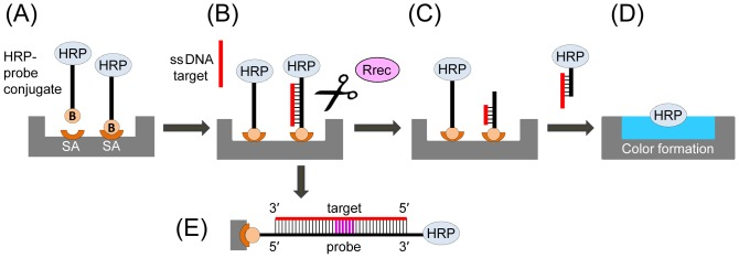 General schematic of the restriction enzyme assay. ( A ) Surface immobilization of HRP conjugated to an oligonucleotide probe specific for a target gene of interest. ( B ) The target DNA (an oligonucleotide or a denatured PCR amplicon) is hybridized to the immobilized probe. ( C ) Addition of a restriction enzyme (Rrec) that recognizes and cleaves the target-probe ds DNA hybrid, resulting in release of the HRP marker into the reaction solution. ( D ) The reaction solution is transferred into a new well and mixed with an HRP substrate for colorimetric detection. For each target DNA molecule one HRP molecule is released, resulting in a linear dependence of the signal on the target DNA concentration. ( E ) Detailed schematic of the double stranded target-probe DNA duplex, with the specific restriction site shown in purple. HRP, horseradish peroxidase; B, biotin; SA, streptavidin.