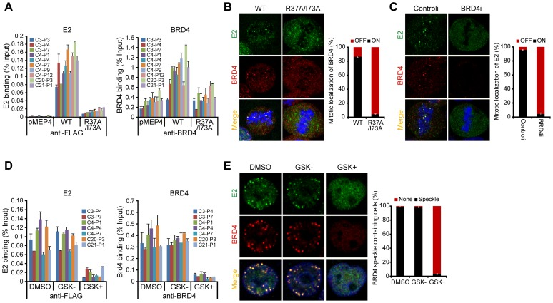 BRD4 is essential for persistent HPV1 E2 binding to host mitotic chromatin. A. E2 expression was induced in asynchronous C-33 cells expressing either wild-type or R37A/I73A E2 proteins. Chromatin was isolated with FLAG antibodies (against E2) or with BRD4 antiserum. ChIP DNA was quantitated by Q-PCR using primers specific for the PEB-BLOCs listed. Average values and STDEV were calculated from two independent experiments. B. The location of E2 wild-type or E2 R37A/I73A (green) and BRD4 (red) as detected by immunofluorescence. Cellular DNA is counterstained with DAPI in blue. Approximately 50 mitotic cells were analyzed for E2 and BRD4 chromosomal speckles. Average values and STDEV were calculated for three independent experiments. C. C-33-1E2 cells were treated with BRD4 siRNA for 3 days and stained for E2 (green), BRD4 (red) and cellular DNA (blue). Approximately 50 mitotic cells were analyzed for E2 and BRD4 chromosomal speckles. Average values and STDEV were calculated for three independent experiments. D. C-33 cells expressing HPV1 E2 were treated with DMSO, GSK525762 + (GSK+), or GSK525762 − (GSK−), for 24 h and E2 expression was induced for 4 h before fixation. Chromatin was isolated with FLAG M2 or with BRD4 immune serum. ChIP DNA was quantitated by Q-PCR using primers specific for the PEB-BLOCs shown. Average values and STDEV were calculated from two independent experiments. E. C-33-1E2 cells were treated with DMSO, GSK525762 + (GSK+), or GSK525762 − (GSK−), for 24 h and E2 expression was induced before fixation. Cells were stained for E2 (green), BRD4 (red) and cellular DNA (blue). Greater than 50 interphase cells were analyzed for E2 and BRD4 colocalization. Average values and STDEV were calculated for three independent experiments.
