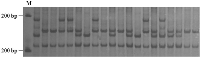 SSR PCR amplification patterns of 20 Callosobruchus chinensis individuals from RD population using primer CCM46. (M is the 100 bp DNA ladder marker).