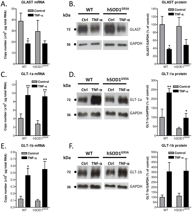 Influence of TNF-α on GLAST, GLT-1a and GLT-1b mRNAs and proteins in cortical astrocytes from wild-type or hSOD1 G93A rats. Expression of GLAST (A), GLT-1a (C) and GLT-1b (E) mRNAs as number of copies per microgram of RNA was estimated by RT-qPCR in control conditions or after 72 h exposure to TNF-α (20 ng/mL) using the corresponding cloned cDNA sequences as standards. Data shown are means with SEM conducted from six independent experiments performed in duplicate. Expression of GLAST (B), GLT-1a (D) and GLT-1b (F) proteins was examined in cells maintained in control conditions or treated with TNF-α (20 ng/mL) for 72 h. Immunoblots shown are representative of six independent experiments. Data indicate the levels of the protein of interest normalized to GAPDH and represents means with SEM. * p