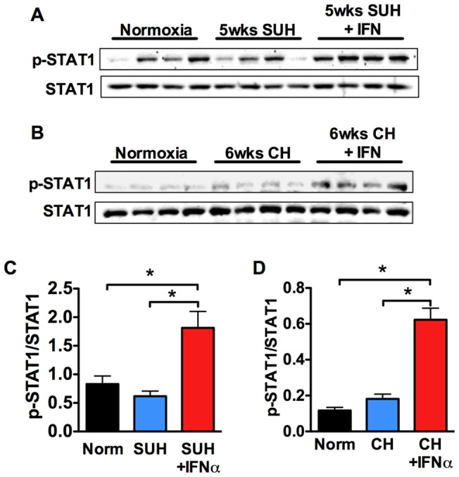 Human IFNα stimulates STAT1 phosphorylation in mice and rats. WB analysis of STAT1, phospho-STAT1 in whole lung homogenates from: (A) normoxic rats, 5 week SUH rats, and 5 week SUH rats treated with IFNα (n = 4 rats per group); or (B) normoxic mice, 6 week hypoxic mice, and 6 week hypoxic mice treated with IFNα. Densitometric ratio of phospho-STAT1 to STAT1 and phospho-STAT3 to STAT3 in lung tissue of different treatment groups in (C) SUH rats and (D) hypoxic mice.