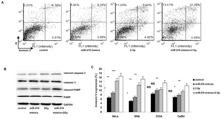 Upregulation of miR-218 increased radiation induced apoptosis. (A) in HeLa cells, combination of miR-218 mimics transfection and radition induced much more apoptosis than miR-218 mimics transfection alone or radiation alone; (B) both miR-218 mimics transfection and radition increased the expression of cleaved caspase 3 and cleaved PARP, the combination of the two approaches further upregulated the level of cleaved caspase 3 and cleaved PARP; (C) the combining treatment also worked well in the other three human cervical cancer cell lines (NS: not significant; *: P