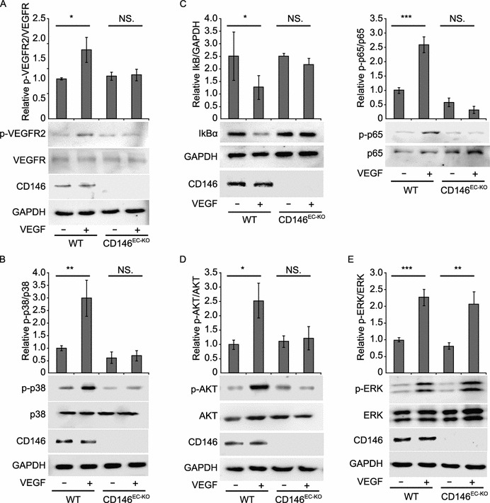 Inhibition of VEGF-mediated signal transduction in CD146-null ECs . (A) Phosphorylation of VEGFR-2 upon VEGF stimulation (50 ng/mL, 10 min) was determined in ECs from WT and CD146 EC-KO mice. (B) Activation of p38 induced by VEGF (50 ng/mL, 30 min) was measured in ECs from WT and CD146 EC-KO mice. (C) Degradation of I-κB and activation of NF-κB p65 induced by VEGF (50 ng/mL, 7 h) were determined in ECs from WT and CD146 EC-KO mice. (D and E) AKT and ERK activation induced by VEGF (50 ng/mL, 30 min) were measured in ECs isolated from WT and CD146 EC-KO mice. All Western blots were quantified by measuring the band density. Bar graphs (mean ± SD) present normalized values from at least 3 independent experiments. ***, P